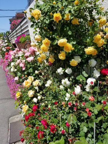 松原市民バラフェスティバルの口コミ・写真